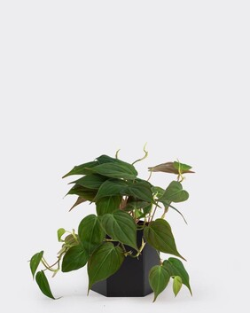 Philodendron - Micans